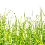 herbe verte, fond blanc